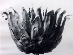 9th April 2019. Karl Blossfeldt Botanical Prints
